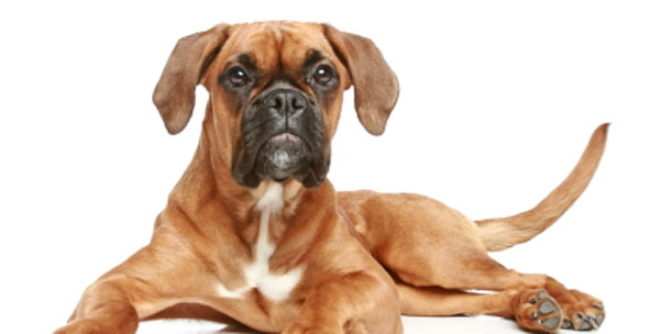 Are Boxer Dogs at Risk for Heart Failure?