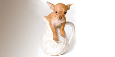 How Can a Tiny Teacup Chihuahua Have Such Bad Breath?