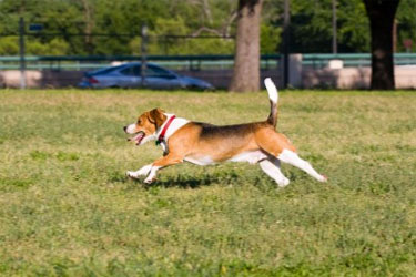 Are Small Dog Breeds Like Beagles Difficult to Train?
