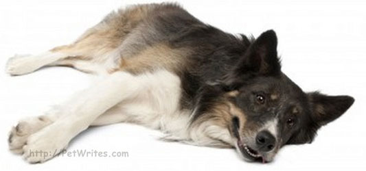 How Can You Tell Whether Your Sick Dog's Symptoms Are Parvo Symptoms?