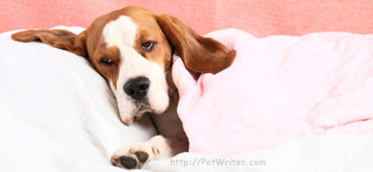 Parvo Symptoms- Do You Know How to Safeguard Your Puppy?