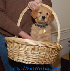 How Do Breeders Come-Up with Golden Retriever Names for New Pups