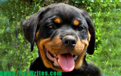 Parvo Symptoms- Are Rottweiler Pups More Susceptible to the Virus?