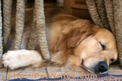 Can a Golden Retriever Rescue Dog Replace the One You Lost?
