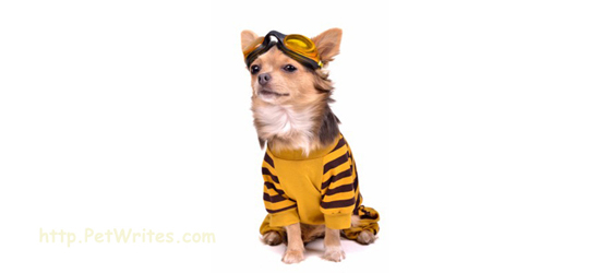Need Some Tips to Get Your Teacup Chihuahua Ready for Halloween?
