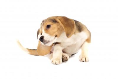 Doggie Eats! Beagle scratching