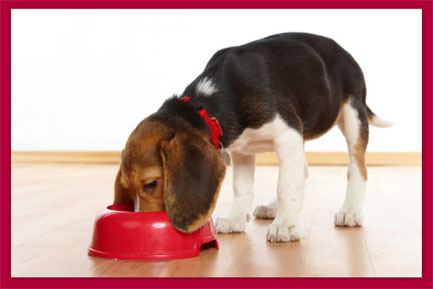 Beagle eating, red border