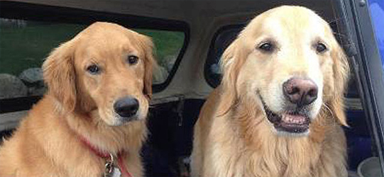 How Did This Heroic Golden Retriever Rescue His Brother, After 2 Weeks Lost in the Wild?